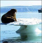 Walrus near melting ice